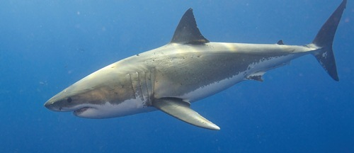 South African great white sharks may face extinction