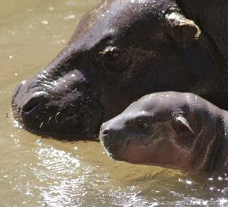 Pretoria's pygmy hippo