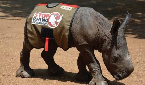 What legalised rhino horn trade really means